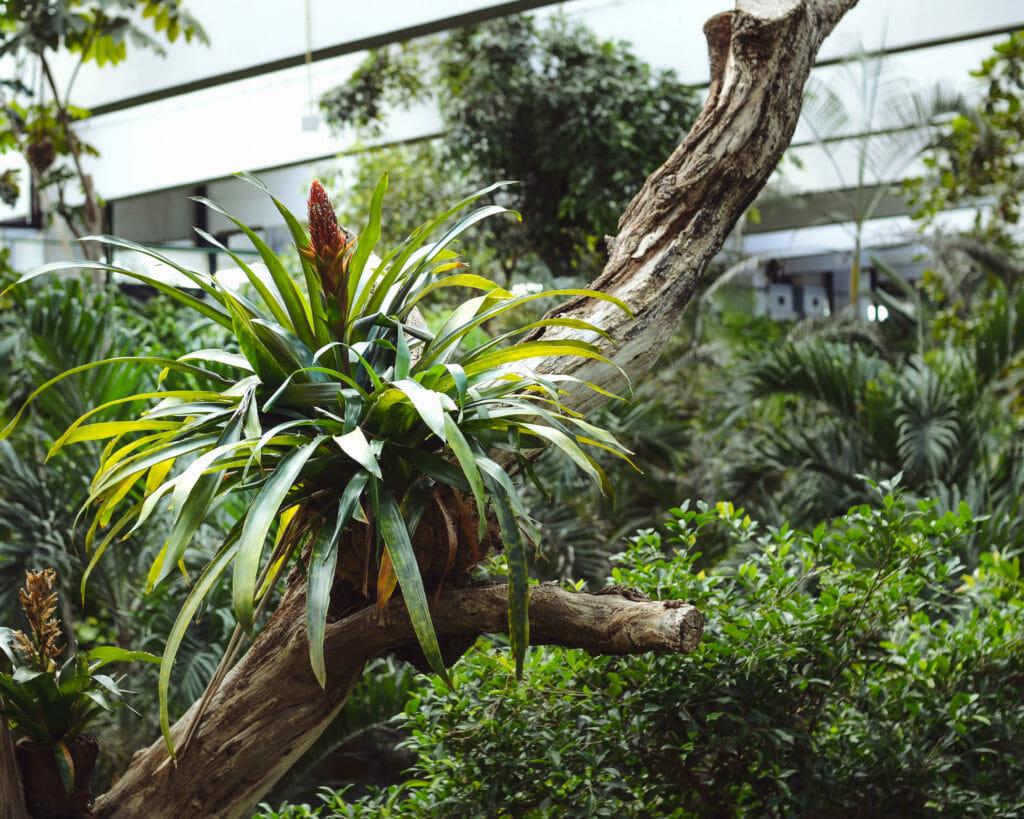 Eine Bromelie auf einem Ast in der Biosphäre zu fotografieren ist ganz einfach, wenn man auf der großen Hängebrücke steht.