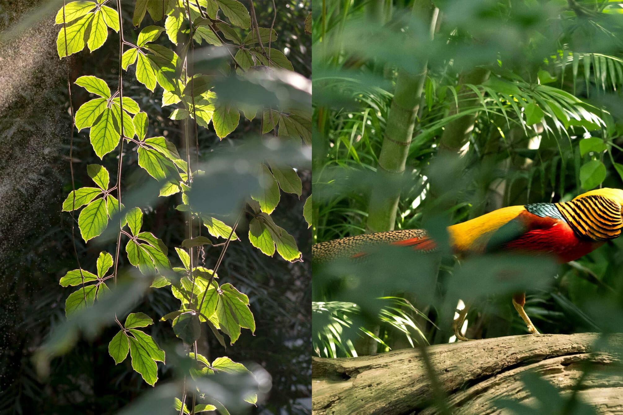 Ein Goldfasan läuft frei in der Biosphäre herum. So ein schönes Tier!
