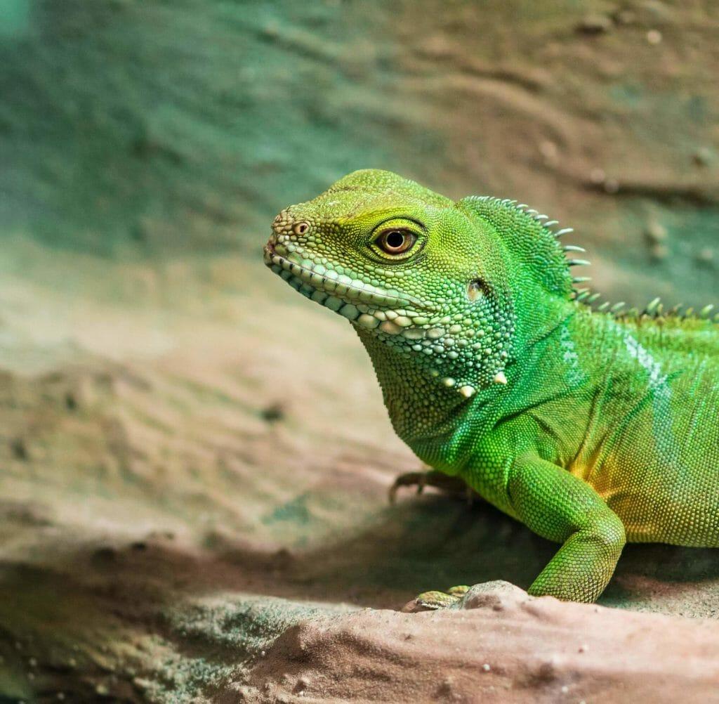 Ein Leguan, den ihr ganz zu Beginn des Rundgangs in der Biosphäre in Potsdam finden könnt.